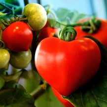 Grow Your Own Love Tomatoes